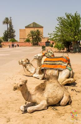 Camellos en el jardín Menara en Marrakech