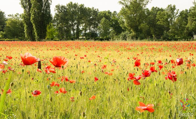Campo de amapolas inspirado de Claude Monet