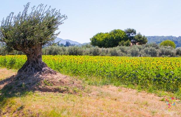 Campo de girasoles florecidos y olivo