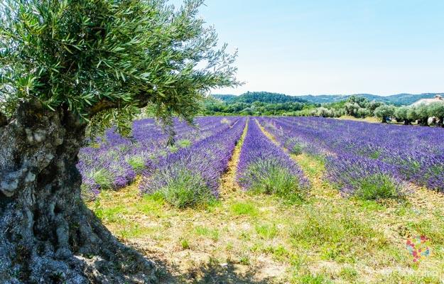 Fotografía de un campo de lavandas y olivo