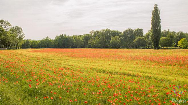 Fotografía de un paisaje de amapola en primavera, francia
