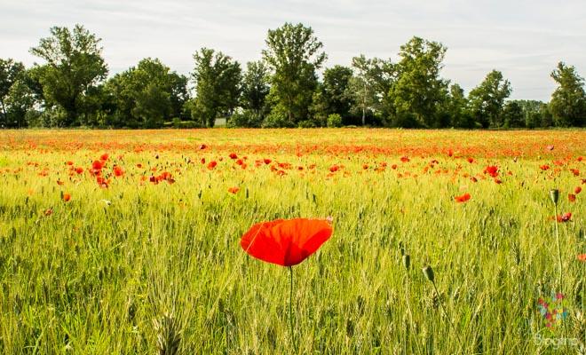 Paisaje de un campo de flores de amapola
