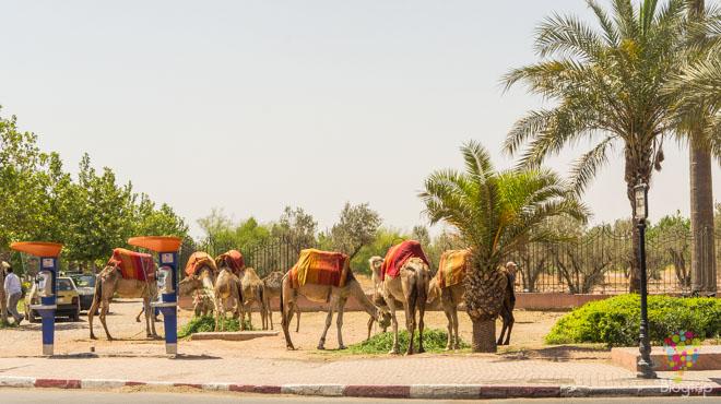 Tour en camello jardín Menara Marrakech Marruecos