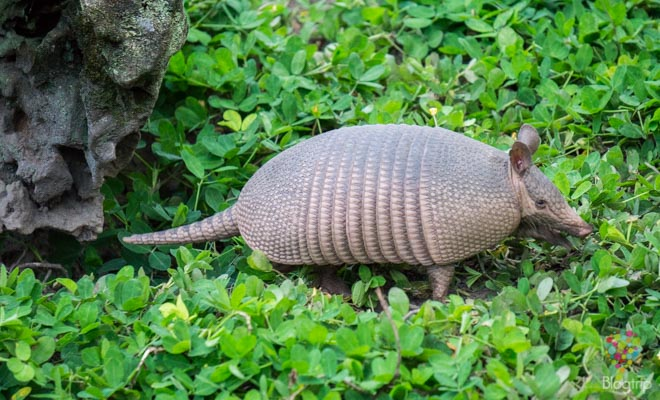 Armadillo o tatú fauna de Colombia