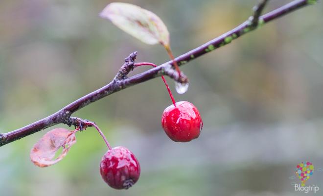 Fotografía de cerezas en otoño