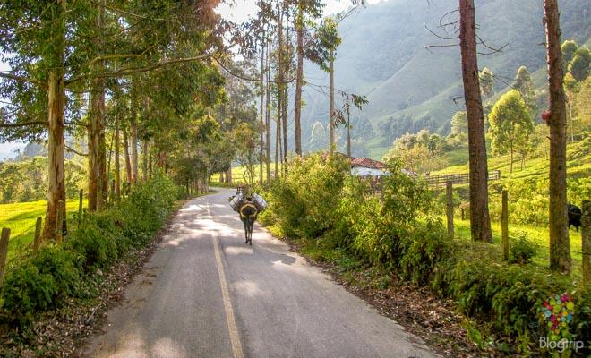 Viaje al valle del Cocora Salento Colombia, paisaje cafetero