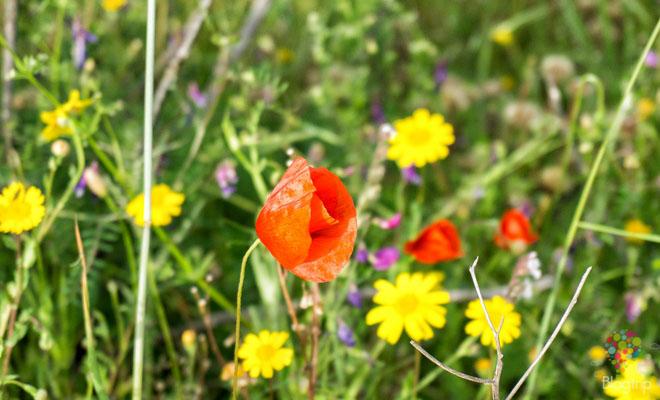 Amapolas salvajes de primavera en Córcega