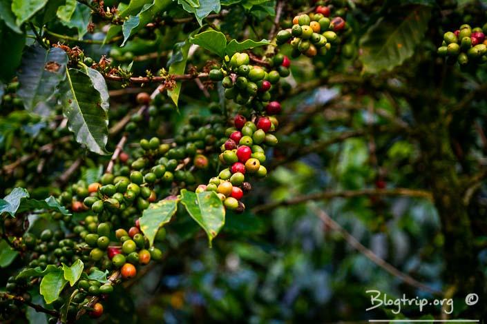 Experiencia de cultivo de café de Colombia en el eje cafetero